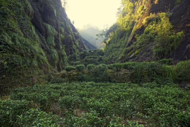 Plantaže čaja u kineskoj pokrajini Fuđijan (foto: Thinkstock)