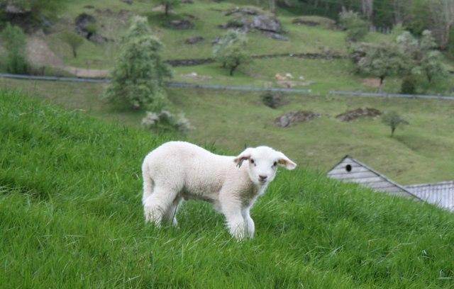 Isplati-se-Jagnje-se-dva-puta-meso-3-EUR