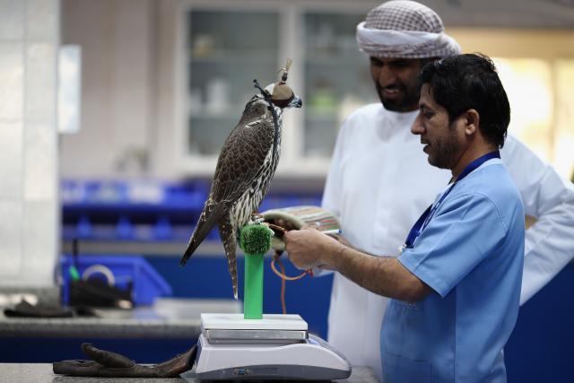 Sokolar prati pregled svog ljubimca u Bolnici za sokolove (Foto: Gettyimages)