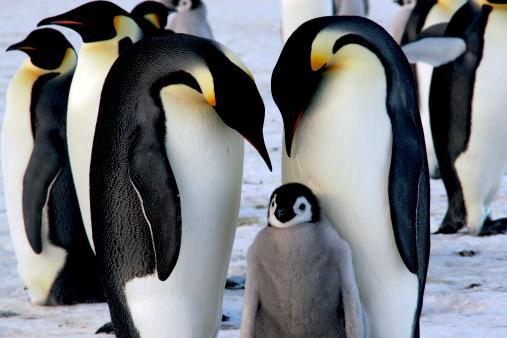 Naučnici na Južnom polu poblesavili od pingvina Južni Polu Gas Carski pingvin