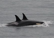 Foto: Tanjug / Center for Whale Research via AP