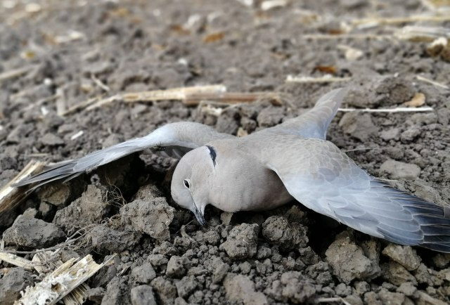 Masovni pomor životinja kod Vršca, zatrovana pšenica? FOTO