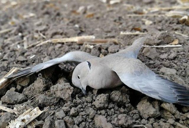 Foto: Facebook/Društvo za zaštitu i proučavanje ptica Srbije