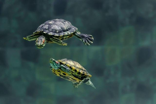 škljocati kornjaču