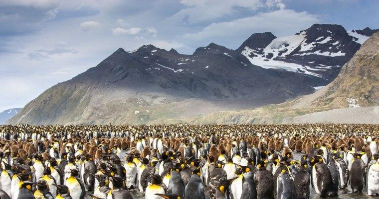 Kolonija pingvina / Južna Džordžija / depositphotos.com