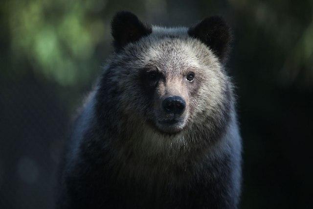 Kanadskog muzičara ubio grizli