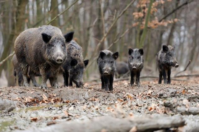 Divlje svinje učestvovale u saobraćajnoj nesreći – povređeni vozači